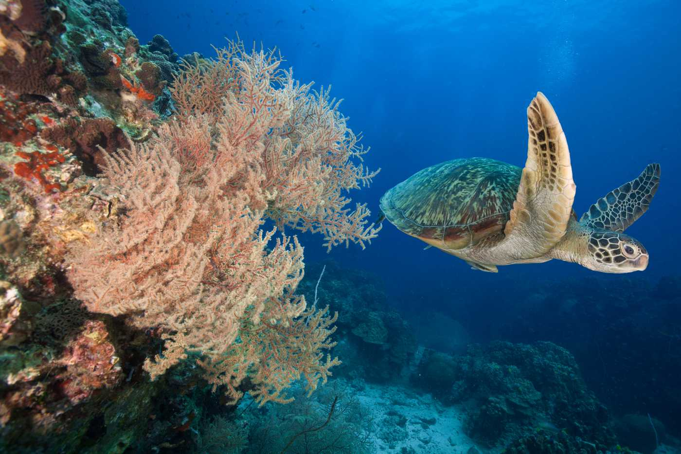 1400 Koh Tao Sea Turtle at the Reef Koh Tao shutterstock 409451317