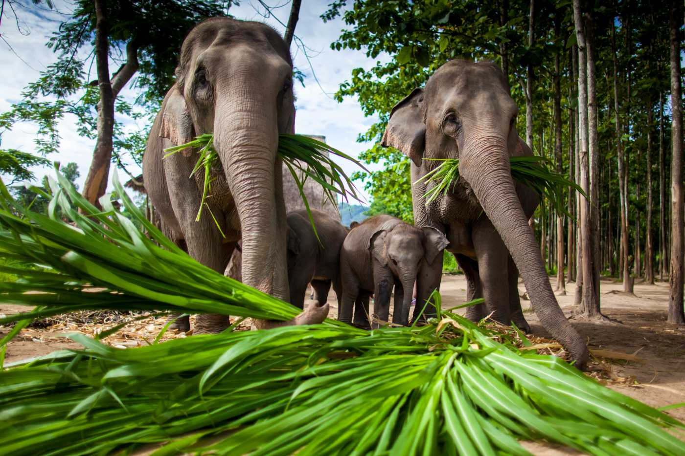 1400 Thailand Einsteiger Group of elephants playing eating shutterstock 108225581