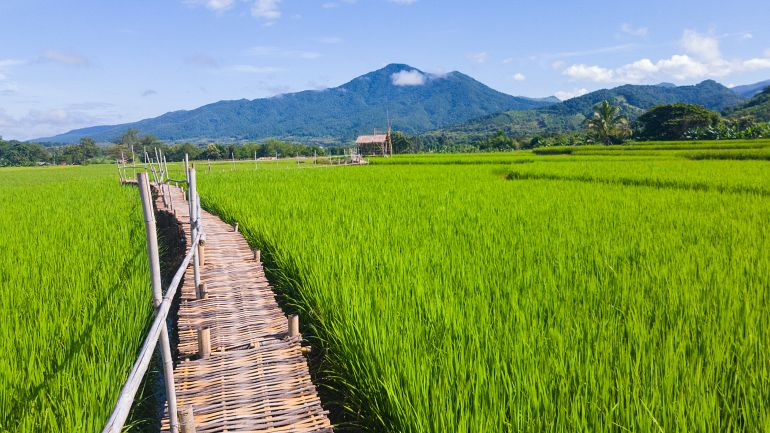 770 Sensationell Nord green rice field in Northern Thailand shutterstock 747065575