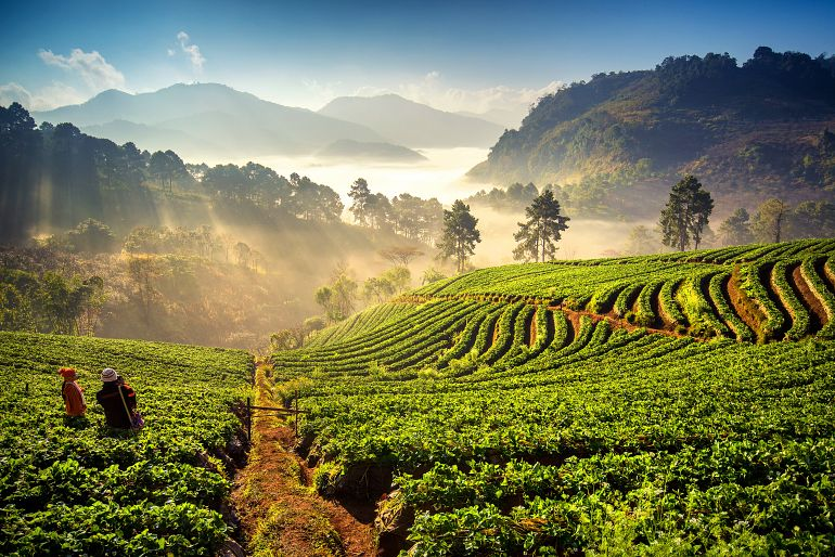 770 Sensationell Nord strawberry field at doi angkang shutterstock 240784369