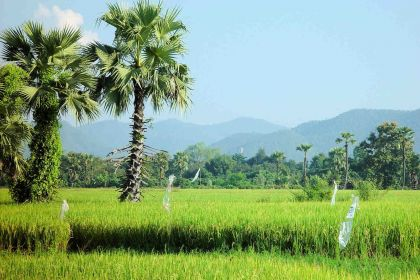 1600 Nordthailand S.K Rice Fields.2